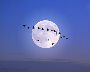 Brent Geese (Branta bernicla) flying past the moon