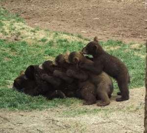 bear-cub-pile-up