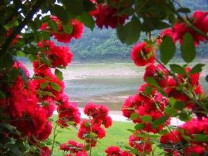 red rose garden wallpaper