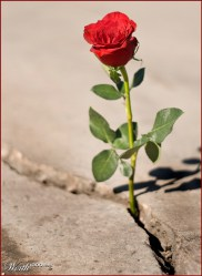 rose growing in concrete