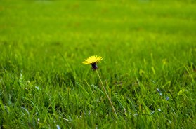 single-yellow-dandelion-in-green-grass