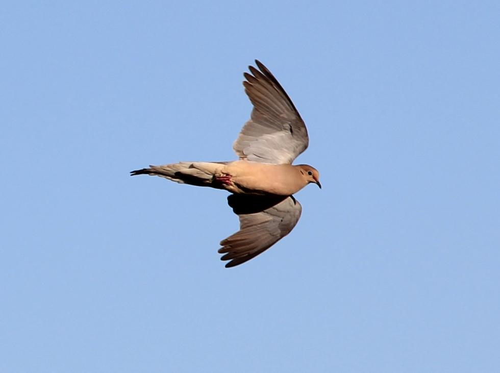 M Dove in Flight